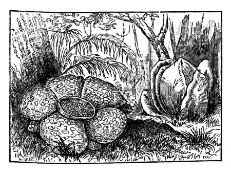 A picture is showing Rafflesia Flower. Rafflesia is a genus of parasitic flowering plants. This is gigantic flower, vintage line drawing or engraving illustration.