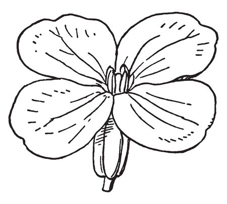 A picture shows type of Wallflower. The flowers are fragrant, varying in colour between yellows, reds, oranges and pinks, vintage line drawing or engraving illustration. Ilustrace