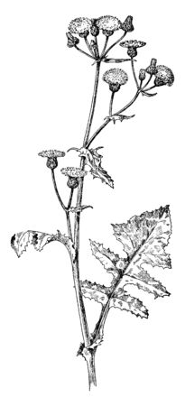 A picture showing Sow Thistle which is an annual herb plant, vintage line drawing or engraving illustration.