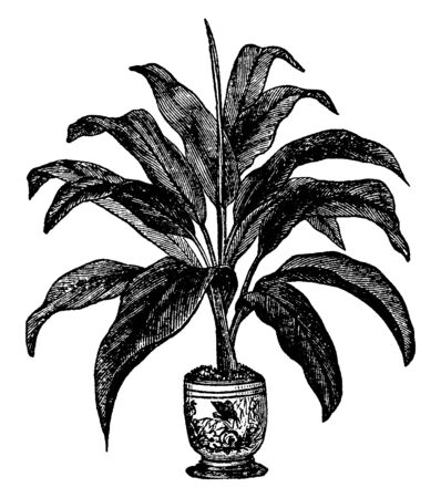 Dracaena Brasiliensis is small shrub, it growing in flower pot. The leaves are broad and wide spread, vintage line drawing or engraving illustration.