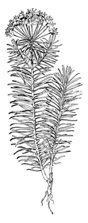 A picture shows Cypress Spurge Plant. The plant has numerous bright green linear leaves that are located alternately along the stem and in whorls where they subtend the inflorescence, vintage line drawing or engraving illustration.