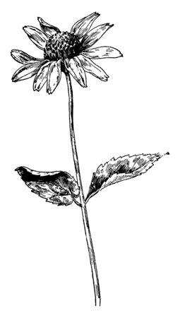 Smooth Oxeye is a species of flowers which is of different shapes and colors and it is also known as sunflower, vintage line drawing or engraving illustration. Çizim