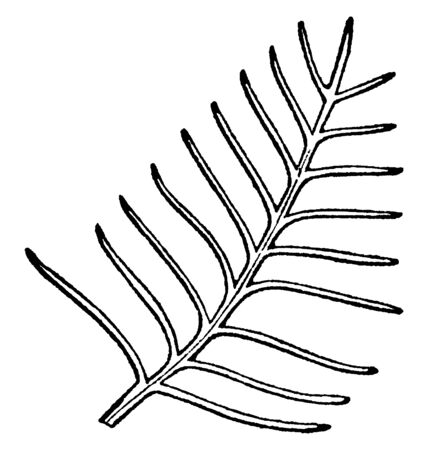 This is a image of pectinase leaf. They having the segment arranged in regular, comb-like rows arising from a straight back single ranked, vintage line drawing or engraving illustration.