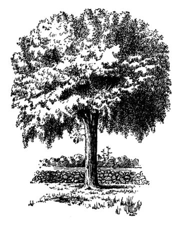 This picture shows a maple sugar which is a traditional sweetener in Canada and the northeastern United States prepared from the sap of the maple tree, vintage line drawing or engraving illustration.