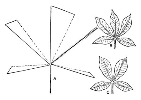 A picture or diagram describing the effect of removal of a leaflet from a palmately compound leaf, vintage line drawing or engraving illustration.