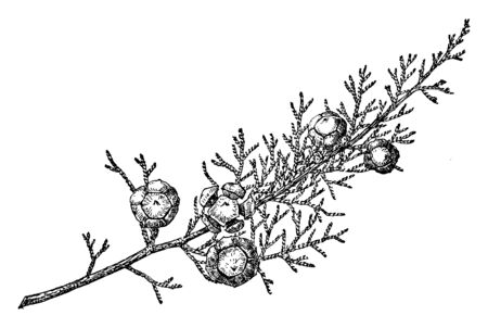 This is a Branch of Mendocino Cypress, having fruits on it. It is native to California, vintage line drawing or engraving illustration. Ilustração