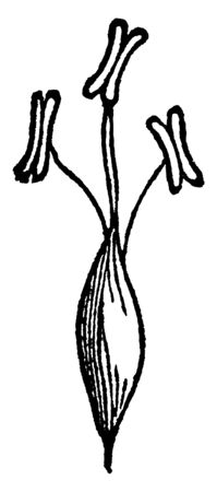 The picture showing slender foxtail grass. It seed growing and anther attach to seed, vintage line drawing or engraving illustration. Illustration