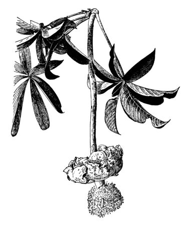 The picture is showing Flower of Adansonia Digitata. Its flower is open and wide. The petals then roll and wither, vintage line drawing or engraving illustration. Ilustração