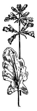 A picture showing the branch and flowers of Sage plant which is an extensive genus of plants of the mint family, which are widely distributed in warm regions, covering 450 species, vintage line drawing or engraving illustration. Illustration