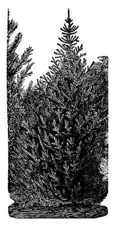 Norway spruce is a large coniferous evergreen tree genus Picea, found in northern temperate and boreal regions. They are pyramidal trees with whorled branches. It is the original Christmas tree, vintage line drawing or engraving illustration.