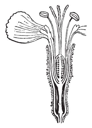 A picture of Anthophore which is a stalk like extension of the receptacle on which the pistil and corolla are borne, vintage line drawing or engraving illustration. 向量圖像