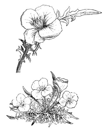 Oenothera acaulis is a tufted plant with toothed leaves reaching about 4