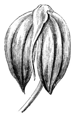 An illustration of masdevallia igneas flower is a species of orchid endemic to Colombia. The flower is bright fiery red and deeply shaded with crimson or violet rose, vintage line drawing or engraving illustration.