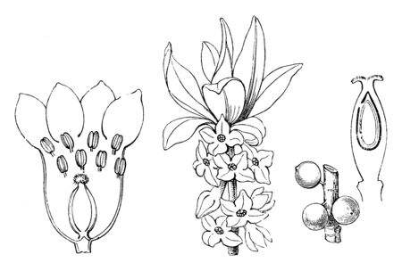 A picture is showing Mezereon. Daphne Mezereum is common name for Mezereon. In it (1) is a flower cut open and (2) is a vertical section of an ovary and (3) is the fruit, vintage line drawing or engraving illustration.