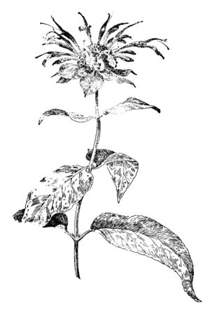 The Wild Bergamot is flowering plant. The plant is tall, leaves are lance shaped, and toothed. Flowers are grown at the end of the stem, vintage line drawing or engraving illustration. Illustration