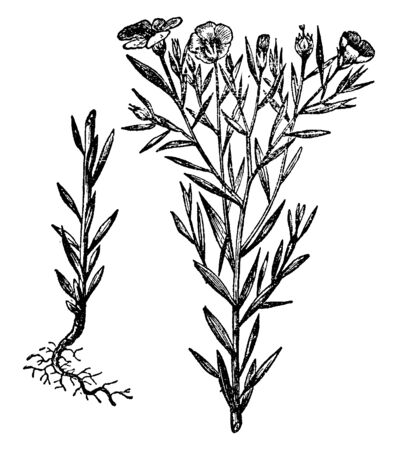 A picture is showing Flax, it also known as Linseed. It belongs to Linaceae family. Flowers are pure pale blue with five petals. It is a food and fiber crop grown in colder regions of the world, vintage line drawing or engraving illustration. Ilustracja