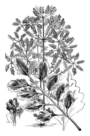 A picture showing the leaves of the Glauca variety are fan-wedged shaped, vintage line drawing or engraving illustration. Ilustrace