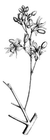 Picture is showing blossoming part of Moringa Aptera, vintage line drawing or engraving illustration.