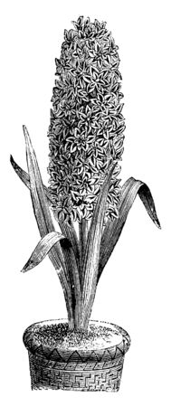 The image shows a Double Flowered Variety of the Garden Hyacinth. The flowers are small and rosette like. This variety is not cultivated as often as the single flowered variety, vintage line drawing o 일러스트
