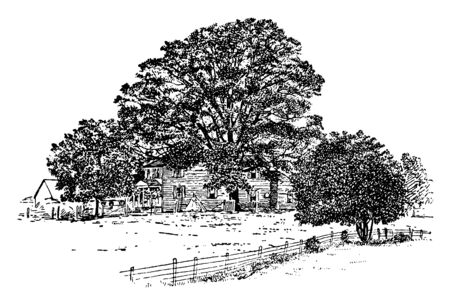 Picture of White Oak. Leaves are broad, flat and Pinnately lobed. Fruits has cup without fringe. It is found in a wide variety of habitats throughout Ohio, vintage line drawing or engraving illustrati