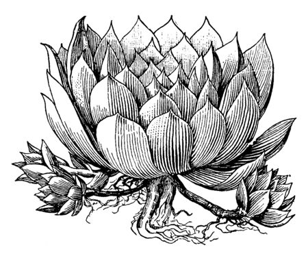 A picture shows Sempervivum Tectorum Flowering Plant. It belongs to sempervivum. Leaves are small, green, fleshy, and thick and it bloom like flower and flowers are red Star-shaped, vintage line drawing or engraving illustration.