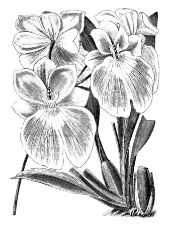 Miltonia Vexillaria flowers are mostly in pink color with white margin volume. Lip color of these flowers is yellow or maroon, vintage line drawing or engraving illustration. Illusztráció