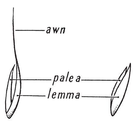 Flower is enclosed by two fertile bracts with the larger bract. The lemma enclosing the usually smaller bract termed the palea. The tip of gume, lemma, or palea called an awn, vintage line drawing or engraving illustration.