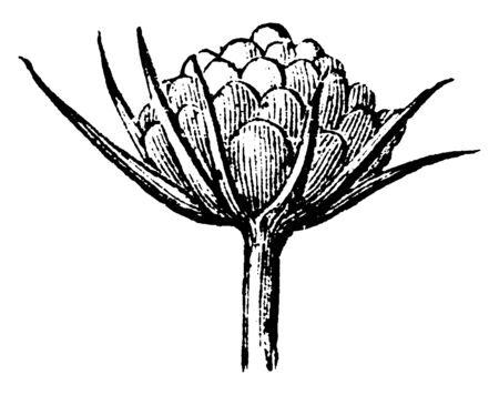 A picture is showing Young Inflorescence of Field Scabious, also known as Knautia Arvensis. It is perennial plant. It belongs to Honeysuckle Family. Flowers are bluish-lilac, vintage line drawing or engraving illustration.