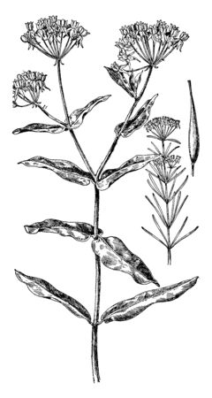 Picture is of Indian hemp. It is valuable fiber plant of East Indies now widespread in cultivation. Leaves are palmate, with five to seven leaflets, vintage line drawing or engraving illustration.