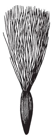 In this image there are show you pappus of downy hairs of Calyx of Sow thistle, vintage line drawing or engraving illustration.