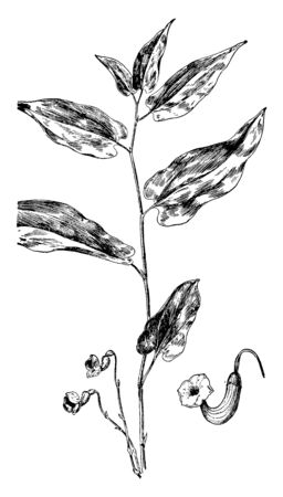 The Virginia Snakeroot species is commonly known as Aristolochiaceae, its leaves are alternate arranged. Flowers like trumpet shaped, vintage line drawing or engraving illustration.