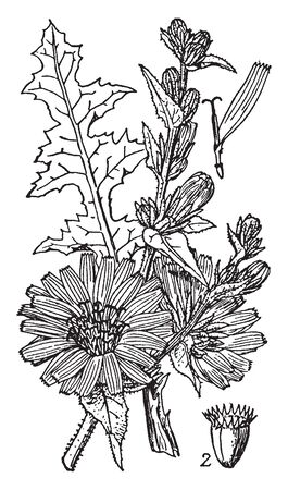 This is an image of Chicory. The roots have been roasted to create a coffee-substitute, vintage line drawing or engraving illustration.