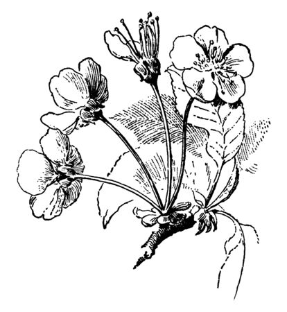The cherry tree umbel is an inflorescence that consists of a series of short stems of flowers that extend from a common point, something like the ribs of the umbrella, vintage line drawing or engraving illustration. Çizim