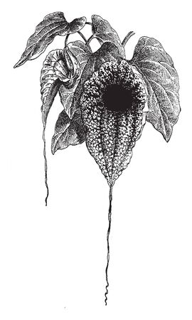 A Picture shows Aristolochia Grandiflora Plant. Flower is green, white, purple, brown veins. The center of flower is darker colored, which attracts pollinators along with distinctive reproductive odor, vintage line drawing or engraving illustration.