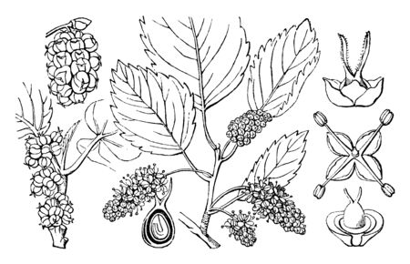 Picture shows the white mulberry. Morus Alba, known as white mulberry. It is a fast-growing, small to medium-sized mulberry tree which grows to 10-20 m tall, vintage line drawing or engraving illustration.