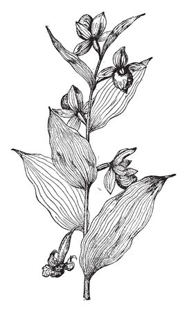 Cypripedium Californicum plant known by many stalk-less leaves pouches and flowers. The oval shaped, tabular flower are growing on plant, vintage line drawing or engraving illustration.
