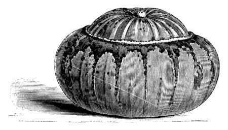 In this picture there is Turk's Cap Gourd. This Turk's Cap Gourd is look like a turban pumpkin. The centre of this gourd is elevated and colour is white and yellow, vintage line drawing or engraving illustration.