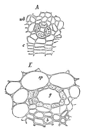 A diagram Ivy Stem cross section which showing early, later stage in the formation of the duct and the mature duct, vintage line drawing or engraving illustration.