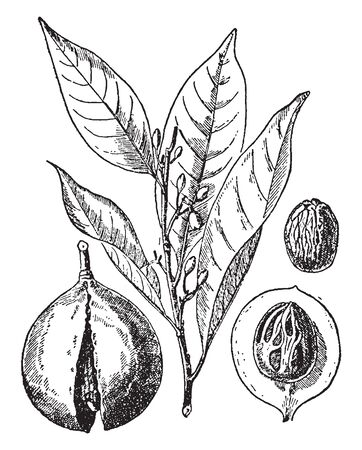 Picture of Myristica Fragrans plant. Myristica Fragrans is an evergreen tree indigenous to the Moluccas  of Indonesia. It is widely grown across the tropics including Yunnan in China & Taiwan, vintage line drawing or engraving illustration. Illusztráció