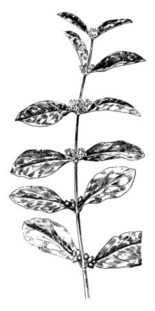 This picture of Indian currant and elder leaves, vintage line drawing or engraving illustration.