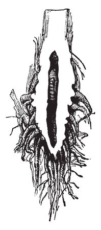 The image shows the damage caused by the larva of Chilo saccharalis species to a sugarcane plant root. The insect is also called sugarcane borer, vintage line drawing or engraving illustration. Illusztráció