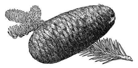 This picture is showing Pine Cone of Pacific Silver Fir also known as Abies Amabilis, vintage line drawing or engraving illustration.
