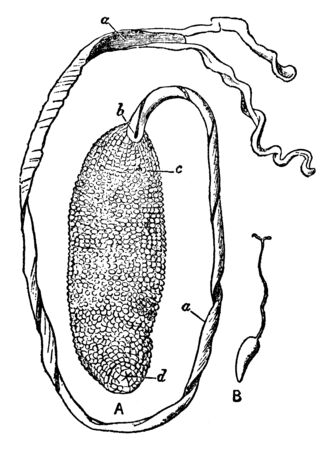 Male Bonellia Viridis is a marine worm noted for displaying exceptional sexual dimorphism, vintage line drawing or engraving illustration.