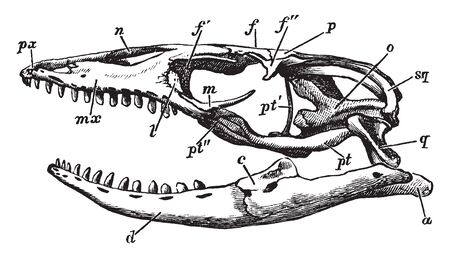 Acrodont is a formation of the teeth whereby the teeth are consolidated with the summit of the alveolar ridge of the jaw without sockets, vintage line drawing or engraving illustration.
