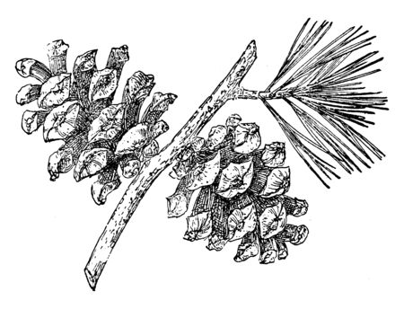 There are two pine cone of Mexican Pinyon tree. It is native to western North America and belonging to Pine group, vintage line drawing or engraving illustration.