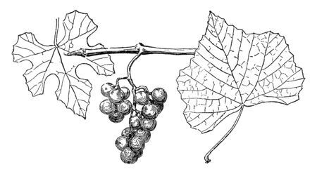 A picture of Vitis Candicans flowering plant local towards the Northern Hemisphere, vintage line drawing or engraving illustration. Ilustrace