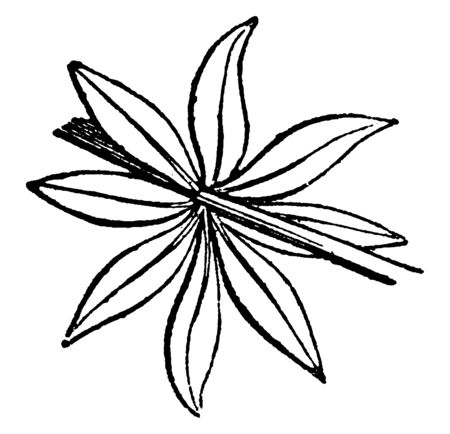 A picture of bacca plant. Eight leaves attached at a node and leaves shaped in narrow, vintage line drawing or engraving illustration.