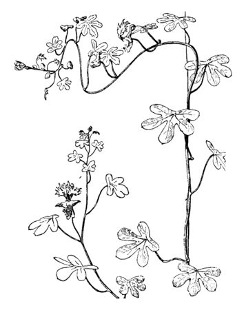 Tender herbaceous with attractive foliage of deeply divided and lots of yellow flower growing in summer, vintage line drawing or engraving illustration. Imagens - 132856371