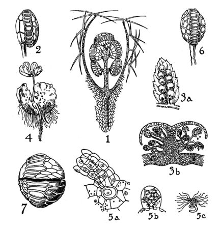 This is Hymenophyllaceae, Cyatheaceae, and Polypodiaceae. Leaves are very large there is mature sporangium will annulus cells, Spores are present at the center with straightening movement, vintage line drawing or engraving illustration.
