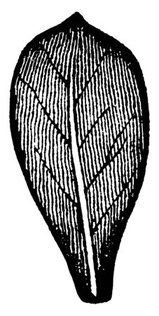 This is a spatulate leaf. This is spatula-shaped leaf. This leaf having a broad rounded apex and narrow base, vintage line drawing or engraving illustration.